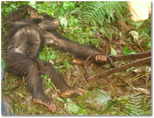 bush-meat-monkey-captured-in-a-snare-in-africa