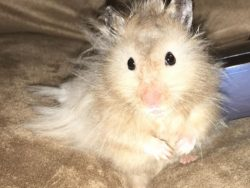 hairy hamster small animal rescue