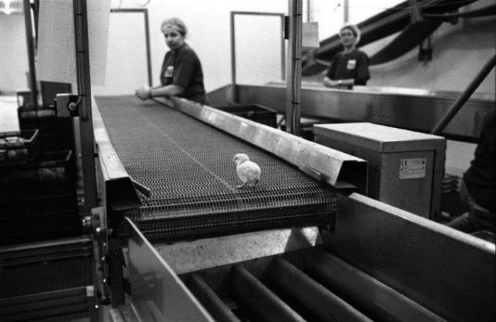 animal-cruelty-factory-farming-lone-male-chick-about-to-be-ground-up-alive-1