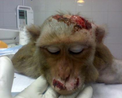 animal-experimentation-monkey-vivisection-torture
