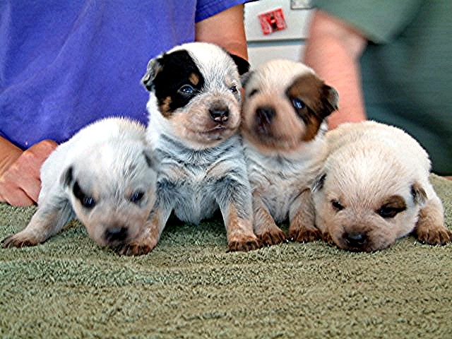 ACD_puppies_3_weeks