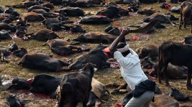 387886_Nepal-Gadhimai-animals-slaughter