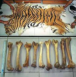 Animals-in-china-tiger-poaching-for-skin-and-bones