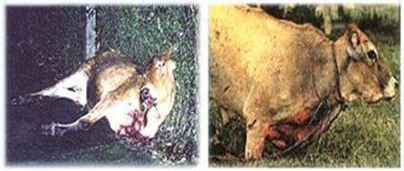 Festival-of-animal-cruelty-to-oxen-brazils-farra-do-boi