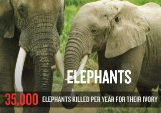 Ivory-trade-35000-elephants-killed-every-year-for-ivory-trade