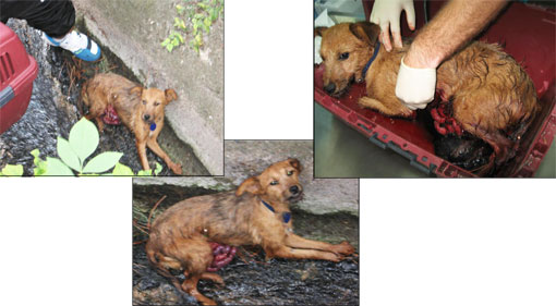 animal-overpopulation-dog-in-ditch-intestines-exposed-after-neutered-serbia
