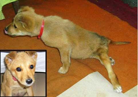 animal-overpopulation-puppy-Angel-beaten-paralysed-Romania