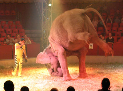circus-animal-cruelty-elephant-performing-under-duress