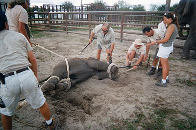 circus-animal-cruelty-rope-forcing-an-elephant-to-the-ground