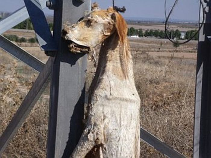Galgo Hung by the Neck