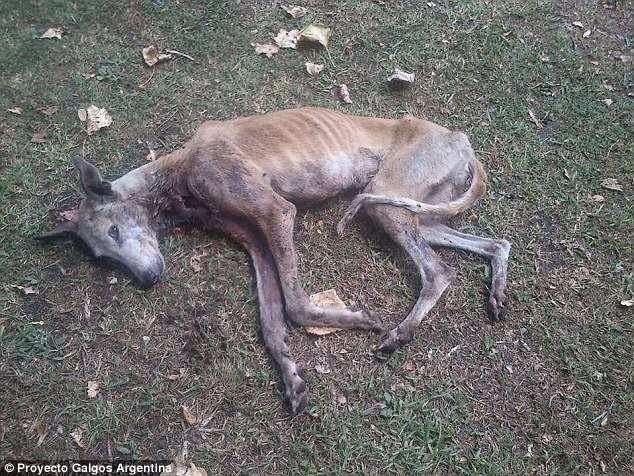 galgo-injected-with-drugs