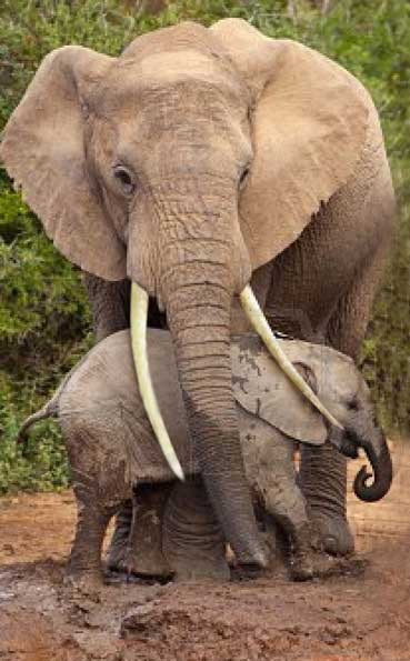 ivory-trade-baby-elephant-being-protected-by-its-mother