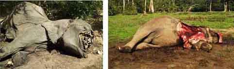 ivory-trade-elephant-poached-for-ivory-tusks-2