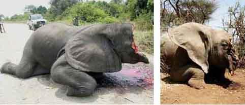 ivory-trade-elephant-poached-for-ivory-tusks