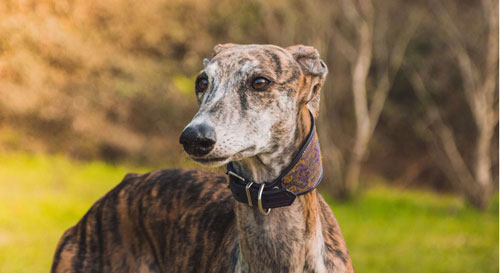 The Magnificent Galgo