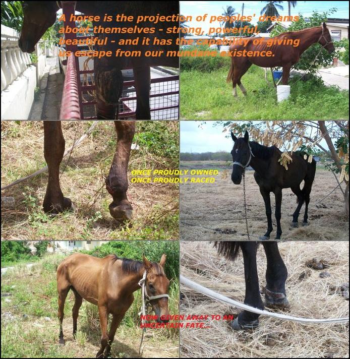 barbados-race-horses