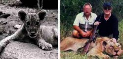 canned-hunting-lion-before-and-after