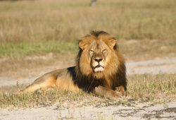 FILE - In this undated photo provided by the Wildlife Conservation Research Unit, Cecil the lion rests in Hwange National Park, in Hwange, Zimbabwe. (Andy Loveridge/Wildlife Conservation Research Unit via AP)
