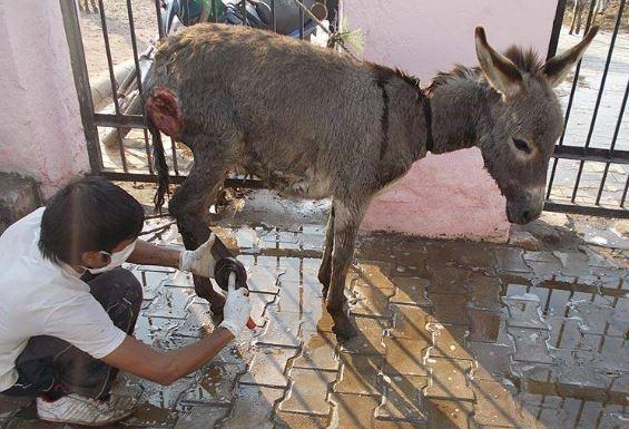 donkeybeingtreated