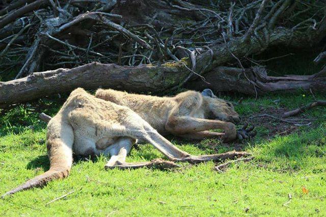 emaciated kangeroo