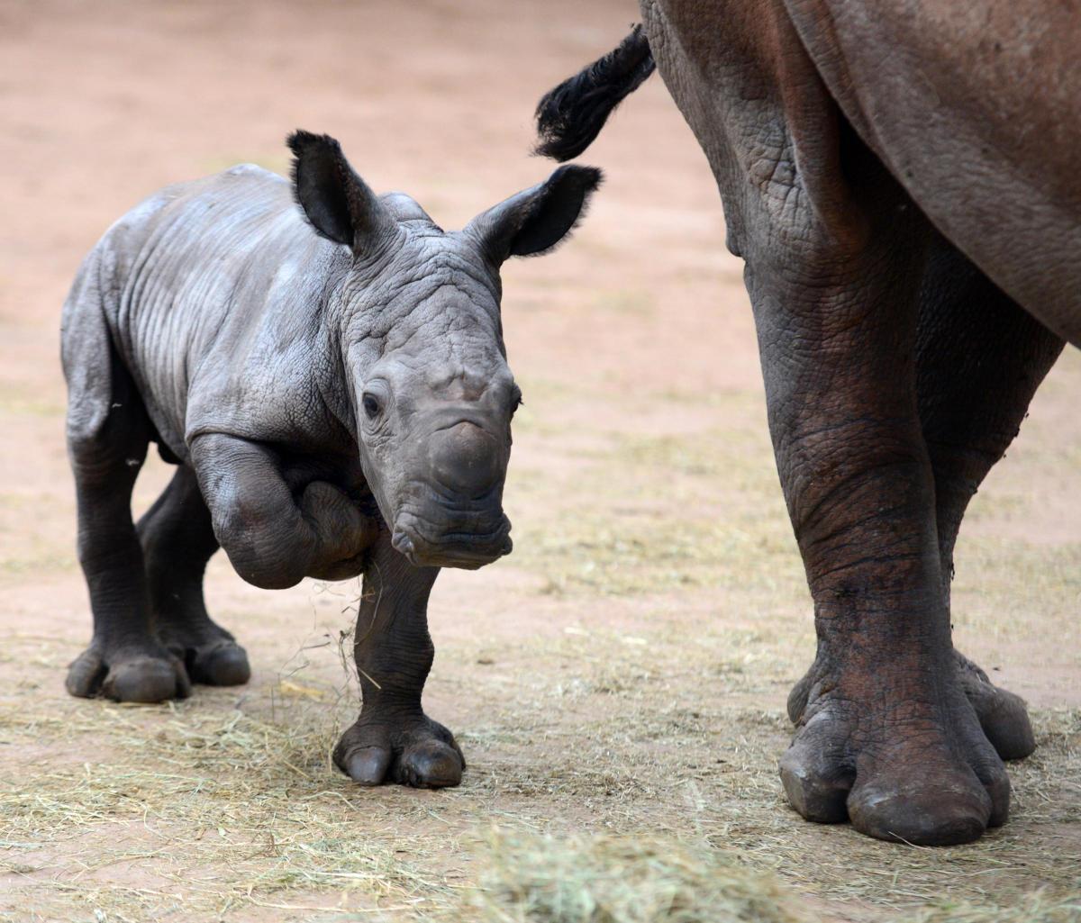 white rhino crushed to death a South Lakes Dalton Zoo